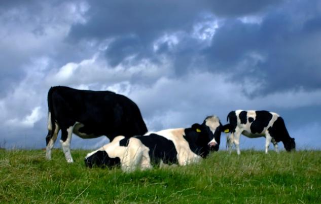 Cow burps 2_633.jpg